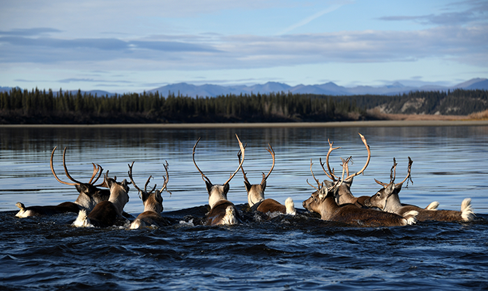 Caribou Outnumber People in This Region of the U.S.