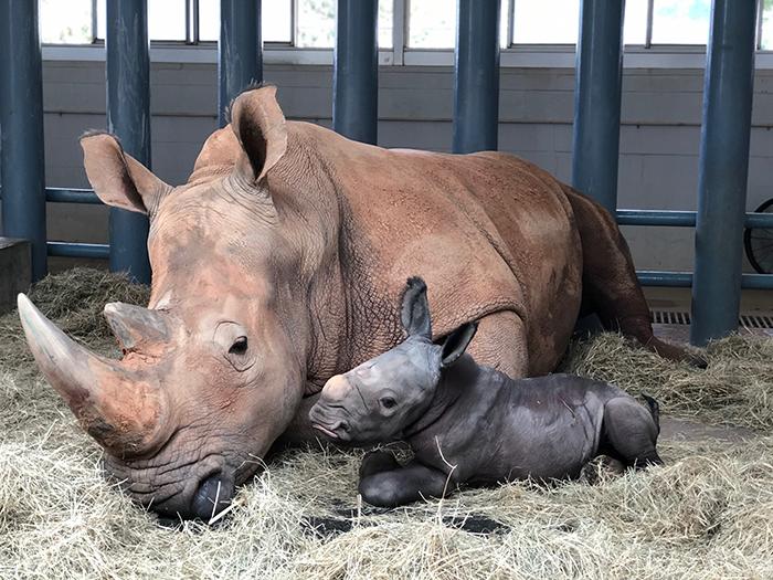 Endangered White Rhino Born at Disney's Animal Kingdom